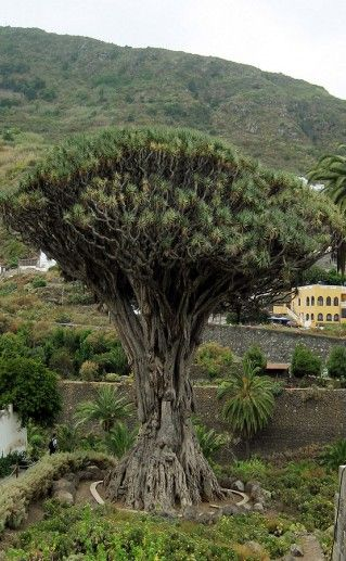 фото парка драконовых деревьев на Мадейре