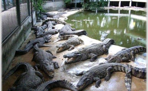 Фото крокодиловая ферма Самуи