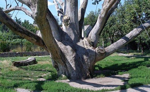 Фотография запорожский дуб