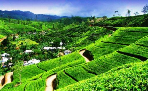 Чайные плантации фотография