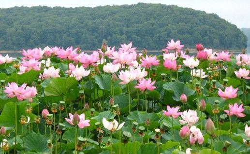 лотосовые плантации фотография