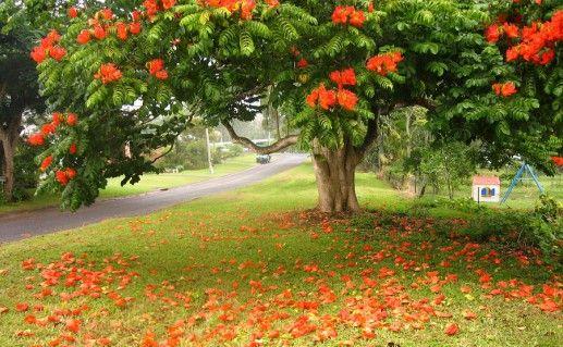 фото тюльпанного дерева в Краснодарском крае